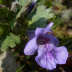 Efeu Gundermann Bluete Glechoma hederacea 04