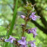 Efeu Gundermann Glechoma hederacea 01