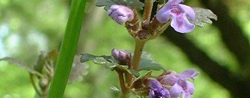 Anklicken um das ganze Bild zu sehen Gundermann Blüte helllila Glechoma hederacea