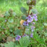 Efeu Gundermann Glechoma hederacea 03
