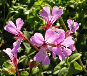 Efeu Pelargonie Bluete pink Pelargonium peltatum 01