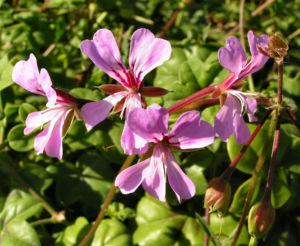 Efeu Pelargonie Bluete pink Pelargonium peltatum 03