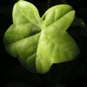 Efeu Pelargonie Bluete pink Pelargonium peltatum 05