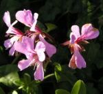 Efeu Pelargonie Bluete pink Pelargonium peltatum 06