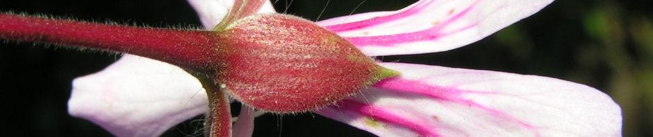 efeu-pelargonie-bluete-pink-pelargonium-peltatum