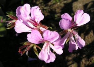 Efeu Pelargonie Bluete pink Pelargonium peltatum 09