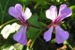 Efeu Pelargonie Bluete pink Pelargonium peltatum 11
