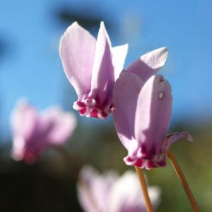 Efeublaettriges Albenveilchen Bluete hell pink Cyclamen hederifolium 04