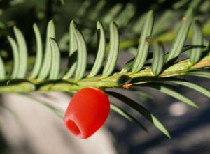 Eibe Baum immergruen Frucht rot taxus baccata 06