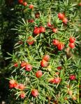 Eibe Baum immergruen Frucht rot taxus baccata 07