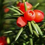 Eibe Baum immergruen Frucht rot taxus baccata 08