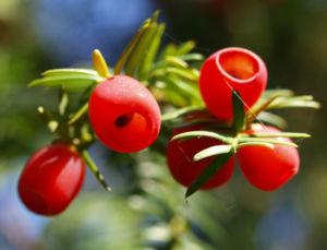 Eibe Baum immergruen Frucht rot taxus baccata 10