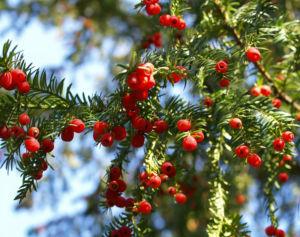 Eibe Baum immergruen Frucht rot taxus baccata 12