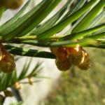Bild: Europäische Eibe Blüte gelblich Taxus baccata