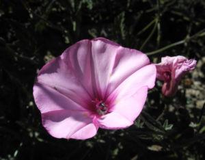 Eibischblaettrige Winde Bluete pink Convolvulus althaeoides 02