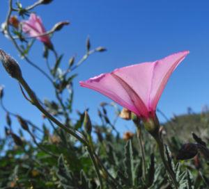 Eibischblaettrige Winde Bluete pink Convolvulus althaeoides 04