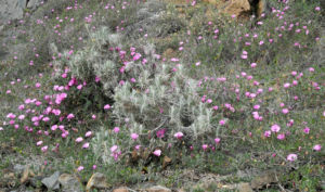 Eibischblaettrige Winde Bluete pink Convolvulus althaeoides 07