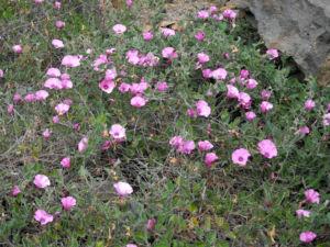 Eibischblaettrige Winde Bluete pink Convolvulus althaeoides 08