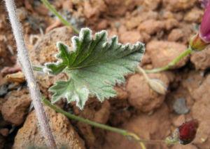 Eibischblaettrige Winde Bluete pink Convolvulus althaeoides 11