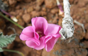 Eibischblaettrige Winde Bluete pink Convolvulus althaeoides 12