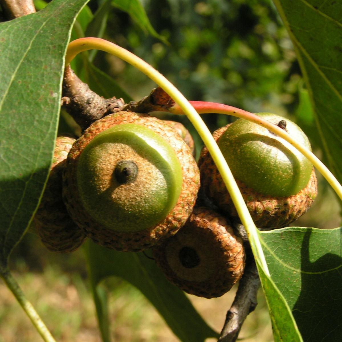 Eiche Baum Frucht Eichel Quercus x richteri