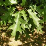 Eiche Baum Frucht Eichel Quercus x richteri 04