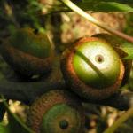 Eiche Baum Frucht Eichel Quercus x richteri 06
