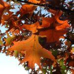 Bild: Roteiche Eiche Baum Blatt rotbraun Quercus rubra