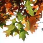 Eiche Roteiche Quercus rubra 03