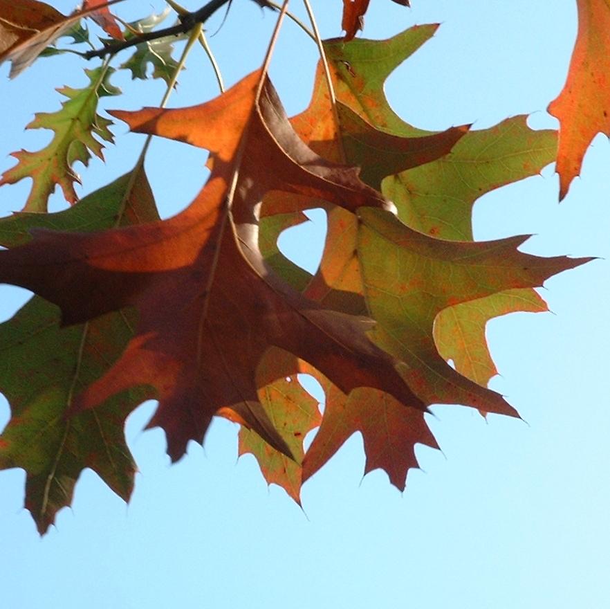 Eiche Roteiche Quercus rubra