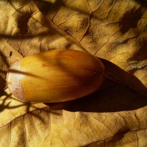Eichel Quercus 03