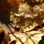 Bild: Eichel braun Quercus