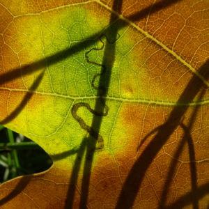 Eichel Quercus 06