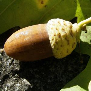 Eichel Quercus 07