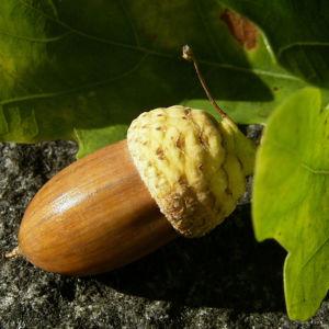 Eichel Quercus 08
