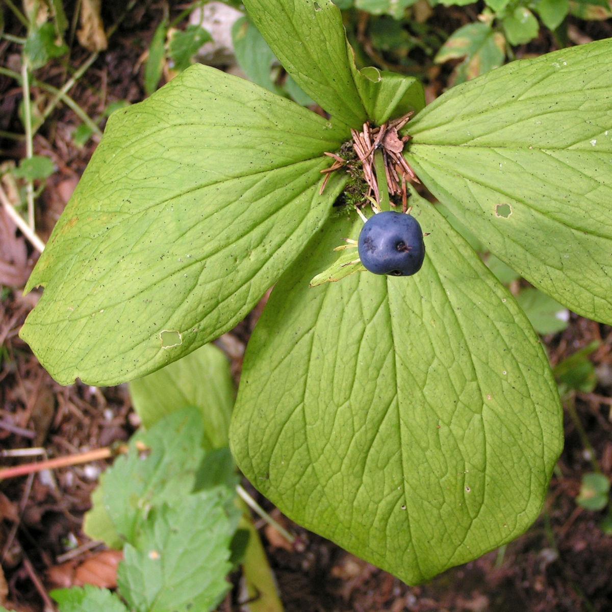 Einbeere Beere blau Paris quadrifolia