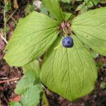 Einbeere Beere blau Paris quadrifolia 02