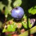 Zurück zum kompletten Bilderset Vierblättrige Einbeere Beere blau Paris quadrifolia