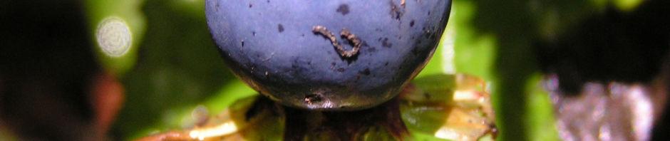 vierblaettrige-einbeere-beere-blau-paris-quadrifolia