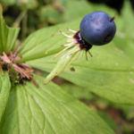 Einbeere Beere blau Paris quadrifolia 04