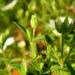 Zurück zum kompletten Bilderset Einblütiges Hornkraut Blüte weiß Cerastium uniflorum