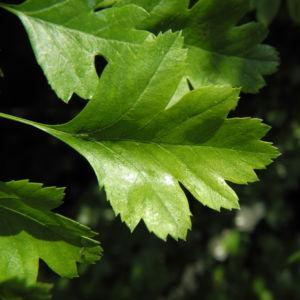 Eingriffeliger Weissdorn Blatt gruen Crataegus monogyna 02
