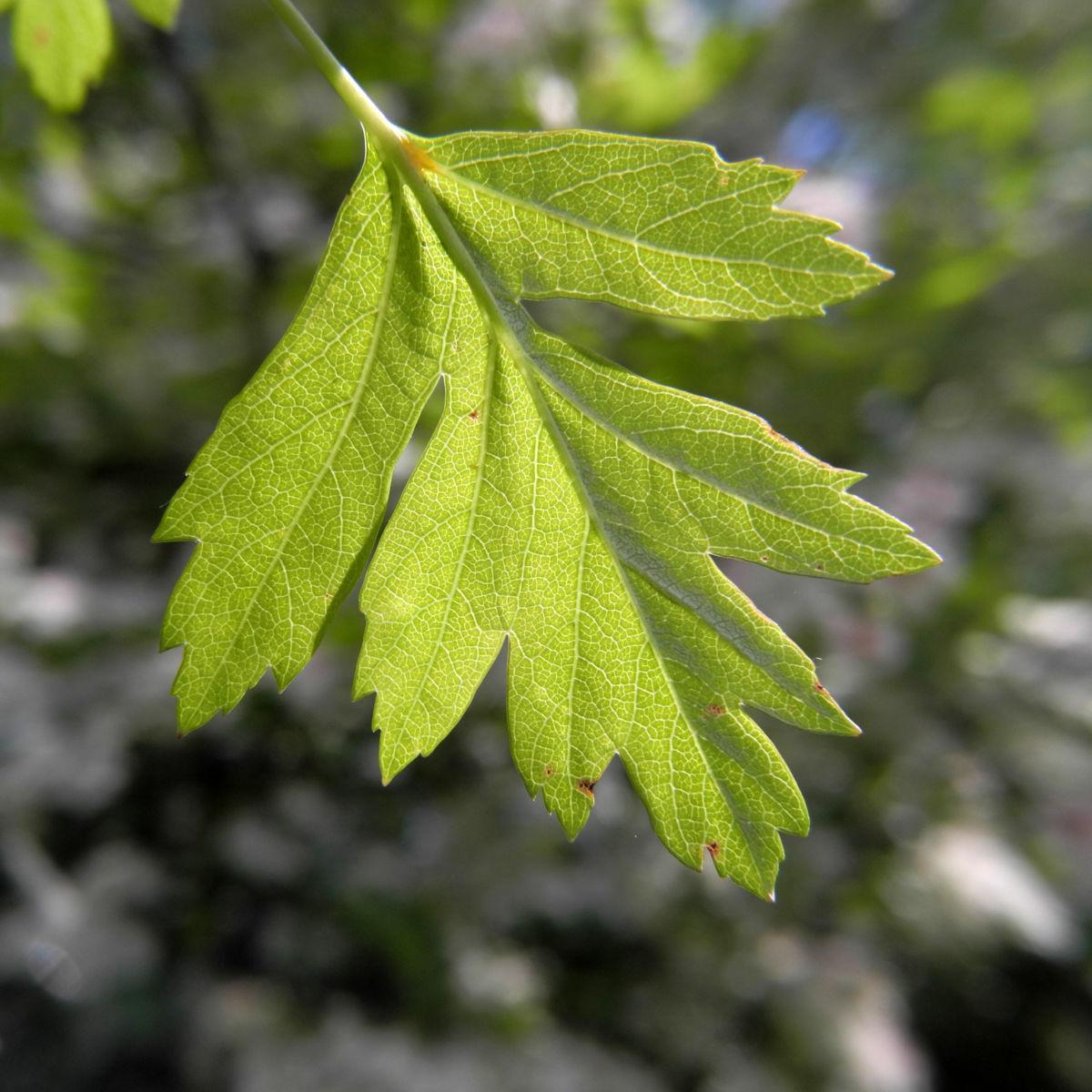 Eingriffeliger Weissdorn Blatt gruen Crataegus monogyna