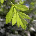 Eingriffeliger Weissdorn Blatt gruen Crataegus monogyna 03