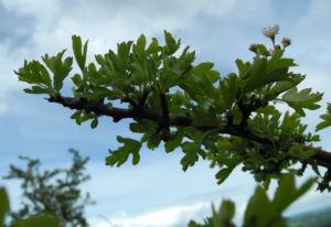 Eingriffeliger Weissdorn Blatt gruen Crataegus monogyna 09