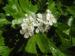 Zurück zum kompletten Bilderset Eingriffeliger Weißdorn Crataegus monogyna