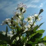 Eingriffeliger Weissdorn Bluete weiß Crataegus monogyna 11