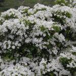 Bild: Eingriffeliger Weißdorn Blüte weiß Crataegus monogyna