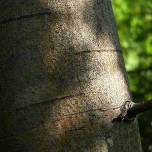 Eingriffeliger Weissdorn Frucht rot Crataegus monogyna 06