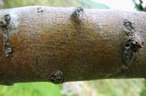 Bild: Eingriffeliger Weissdorn Rinde braun Crataegus monogyna